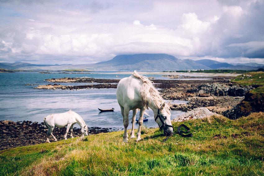 Kone sa pasú na pláži pri írskom Galloway