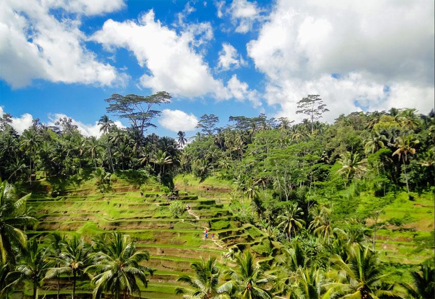 zelené ryžové plantáže